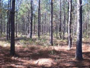 Managed Pine Plantation for sale in Escambia County, Alabama